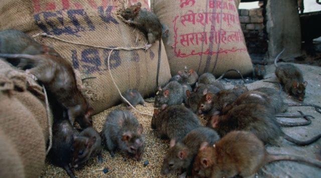 служба по уничтожению грызунов в москве